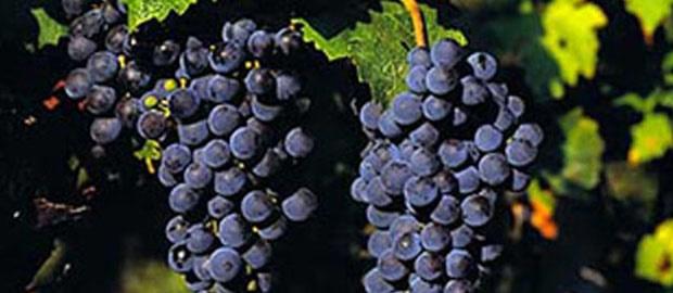 cabernet sauvignon - foto edc