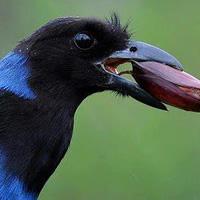 Gralha-azul é a ave símbolo