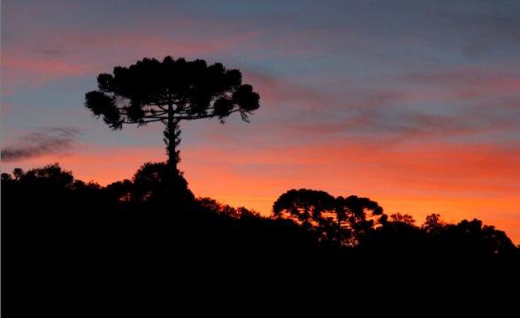 Conservação da araucária no Planalto Serrano rende prêmio ambiental